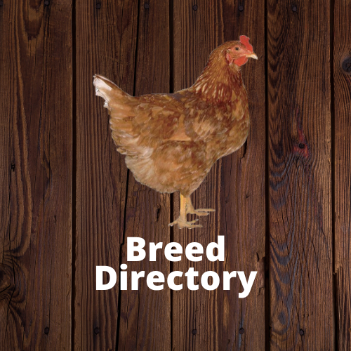 Clickable image to be taken to the Frey's breed directory. Image of a brown chicken
