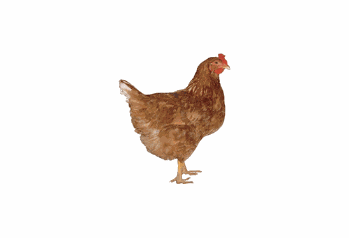 photo of red sex link chicken